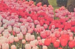 Bloembedden van multicolored tulpen Royalty-vrije Stock Foto