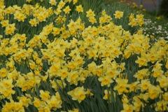 Bloembedorkest van gele narcissen - Frankrijk Royalty-vrije Stock Foto