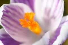 Bloemblaadje van een purpere gestreepte krokus Royalty-vrije Stock Afbeeldingen