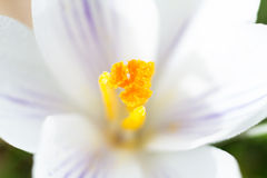 Bloemblaadje van een witte krokus Stock Foto