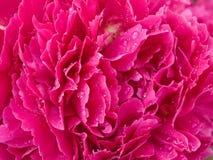 Bloemblaadjes van bloem met dauwdalingen Royalty-vrije Stock Foto