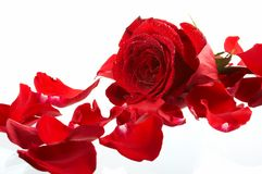 Bloemblaadjes van een roos, op een witte achtergrond stock foto's