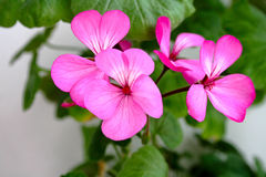 Bloemblaadjes van geranium Royalty-vrije Stock Foto's
