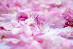 Bloemblaadjes van kersenbloesems Royalty-vrije Stock Fotografie