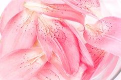 Bloemblaadjes van lelie Stock Afbeelding