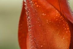 Bloemblaadjes van rode tulp met waterdalingen royalty-vrije stock afbeeldingen