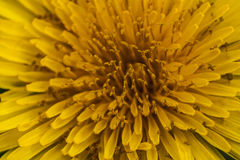 Bloemblaadjes van Taraxacum Stock Afbeelding