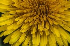 Bloemblaadjes van Taraxacum Royalty-vrije Stock Foto