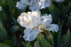 Bloemblaadjes van witte Japanse iris in de zon Royalty-vrije Stock Foto's