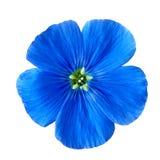 Bloemblauw op witte achtergrond wordt geïsoleerd die De knop dichte omhooggaand van de bloem stock foto's