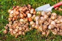 Bloembollen in de tuin Stock Afbeelding