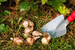 Bloembollen in de tuin Stock Fotografie