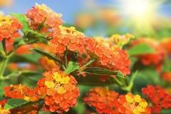 Bloemen achtergrond. De bloemen van Lantana royalty-vrije stock afbeeldingen