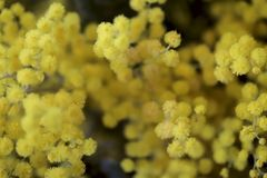 Bloemen achtergrond Gele exotische bloemen van mimosa royalty-vrije stock afbeelding