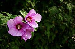 Bloemen achtergrond met roze bloemen Stock Foto's