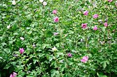 Bloemen achtergrond met roze bloemen Royalty-vrije Stock Foto