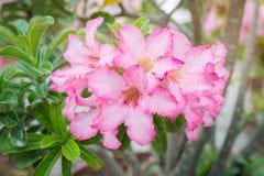 Bloemen achtergrond Sluit omhoog van Tropische bloem Roze Adenium De woestijn nam toe Royalty-vrije Stock Foto