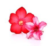 Bloemen achtergrond Sluit omhoog van Tropische bloem Roze Adenium des royalty-vrije stock foto's