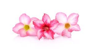 Bloemen achtergrond Sluit omhoog van Tropische bloem Roze Adenium des royalty-vrije stock afbeeldingen