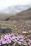 Bloemen alleen in Ijslands landschap royalty-vrije stock afbeeldingen