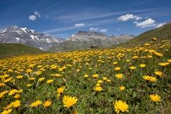 Bloemen in Alpiene weide Stock Afbeeldingen