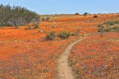 Bloemen bij namaqua nationaal park royalty-vrije stock foto