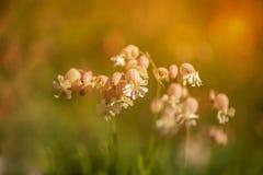 Bloemen bij zonsondergang in Zuid-Tirol Royalty-vrije Stock Afbeeldingen
