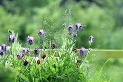 Bloemen blauwe irissen op groen gebied Stock Foto