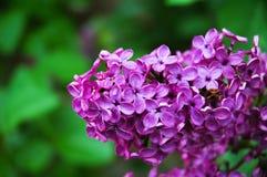 Bloemen in Bloei Royalty-vrije Stock Afbeelding
