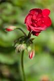 Bloemen - bloem - knoppen Royalty-vrije Stock Afbeeldingen
