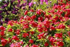 Bloemen in bloembed Royalty-vrije Stock Foto's
