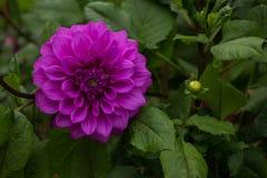 Bloemen, bloemenchrysant Stock Foto