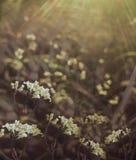Bloemen bos Bloemen mooie achtergrond De witte bloemen bloeien in een opheldering in de zonneschijn bij zonsondergang op een de z royalty-vrije stock foto's