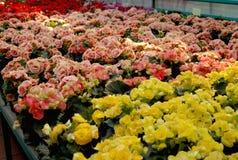 Bloemen in broeikas Stock Foto