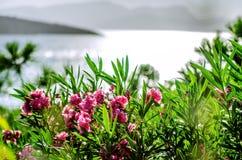 Bloemen Buggenvilii in de stralen van de het plaatsen zon op de kust royalty-vrije stock fotografie