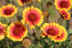 Bloemen in Bulgarije, jaar 2014 Royalty-vrije Stock Afbeeldingen