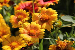 Bloemen in Bulgarije, jaar 2014 Stock Afbeeldingen