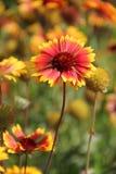 Bloemen in Bulgarije, jaar 2014 Royalty-vrije Stock Foto