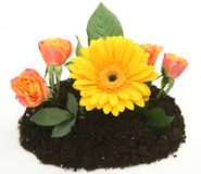 Bloemen in de grond Royalty-vrije Stock Afbeelding