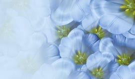 Bloemen de lente blauwe achtergrond Bloesem van bloemen de witte tulpen Close-up De kaart van de groet stock afbeeldingen