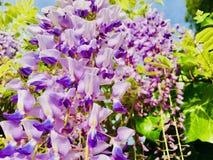 Bloemen in de lente purpere klokken Stock Foto