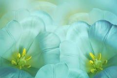Bloemen de lente turkooise achtergrond Bloesem van bloemen de roze tulpen Close-up De kaart van de groet stock afbeelding