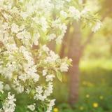 Bloemen de Lenteachtergrond met de Bloemen van de Lenteapple stock foto's