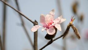 Bloemen in de lentereeks: Bloesems van roze Magnoliabloemen in wind Bloeiende magnoliaboom in de lente, honingbij op het stock video