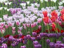 Bloemen De lentetulpen Stock Fotografie