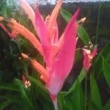 Bloemen in de de regenlelie van het tuinwater stock afbeelding