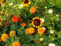 Bloemen in de tuin Zonnebloem Sier, Tagetes-bloemen in tuin royalty-vrije stock foto's