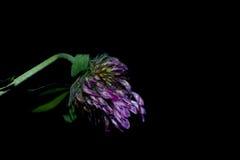 Bloemen in de voorgrond op een zwarte achtergrond Stock Foto