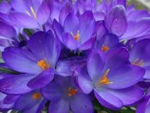 Bloemen in de vroege lente, krokus stock foto