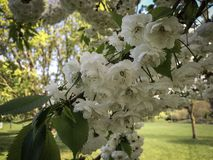 Bloemen, de witte lente, Stock Foto's
